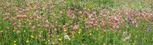 Flowering Of Crimson Clovers (...