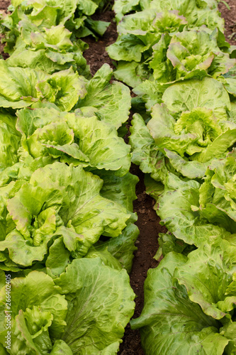 Poster Chamaleon Lettuce in organic farming, orchard, orchard.
