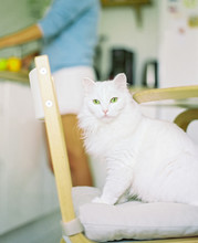 White Cat Sitting On Chair
