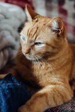 Ginger Cat On The Couch
