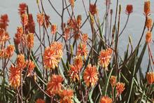 Large Aloe Vera Plants Covered In Bright Orange Blossoms