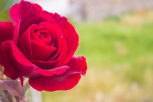 Red Open Fresh Rose Macro With...