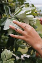 Female Hand Touching Australian Native Flowers