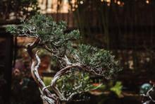 Conifer Bonsai