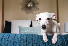 A Cute Little White Dog Posing On A Bed Located In A Modern Bedroom