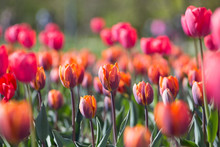 Red And Orange Tulips Are Beau...