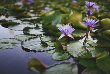 Water Lilies Blooming In The Morning