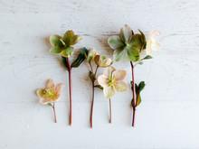 Hellebore Flowers Arranged On Table