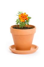 Garden: Single Marigold Seedling In Pot