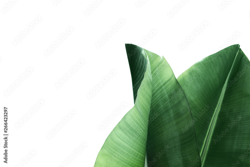 Fototapety, obrazy: Fresh green banana leaves on white background, top view. Tropical foliage