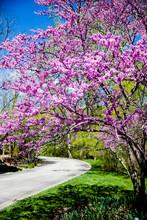 Eastern Redbud Tree Path