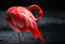 A Beautiful Flamingo Cleaning Its Feathers. Close Up Portrait Of A Flamingo. Beautiful Flamingo On A Natural Background..