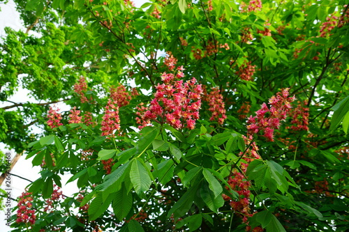 Photo Pink flowers of the red horse chestnut tree Aesculus