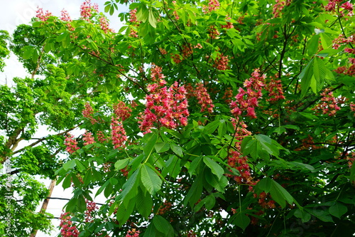 Pink flowers of the red horse chestnut tree Aesculus Canvas Print