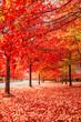 Leinwandbild Motiv Beautiful Trees in Autumn Lining Streets of Town in Australia