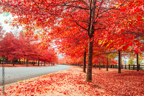 Poster de jardin Rouge Beautiful Trees in Autumn Lining Streets of Town in Australia