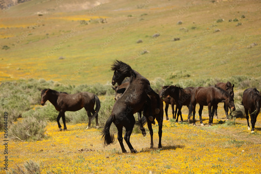 Fototapety, obrazy: Wild horses running in a yellow flower meadow in the spring time.