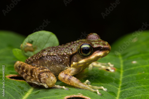 Foto op Plexiglas Kikker Frog on green leaves isolated on black, Torrent Frog of Borneo Island