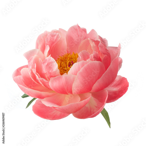 Fotografie, Obraz beautiful pink peony flower isolated on white background
