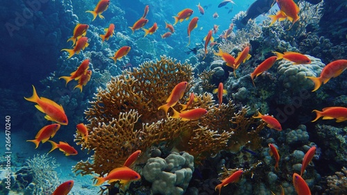 Canvas Print Beautiful tropical coral reef with shoal or red coral fish Anthias