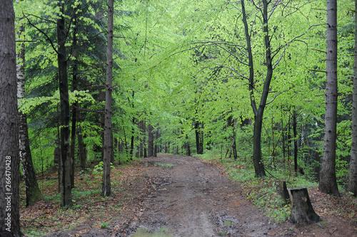 Virgin beech tree forest in spring in eastern Poland, Europe