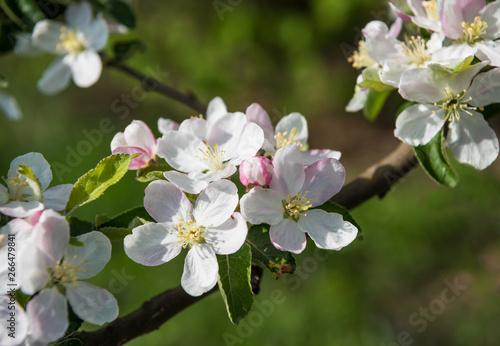 Fototapeta  Blossoming tree brunch with white-pink flowers obraz na płótnie