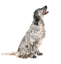 English Setter In Studio