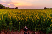 Take Photo Of Sunhemp Field In Sunset Time/  Crotalaria Juncea