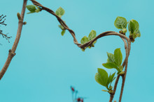 Loach, Ivy, A Plant That Crawls Intertwining With Each Other Up. Blue Background, Isolated