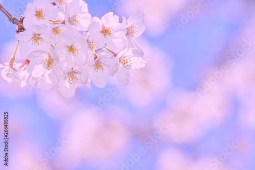 Aluminium Prints Blue sky 桜の開花イメージ