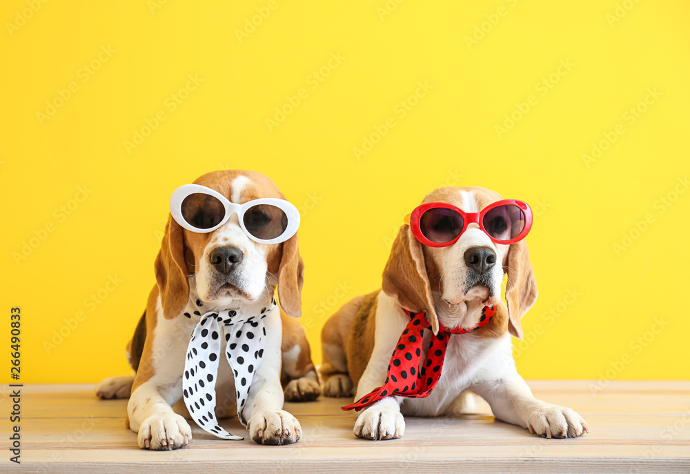 Stylish cute dogs lying on table