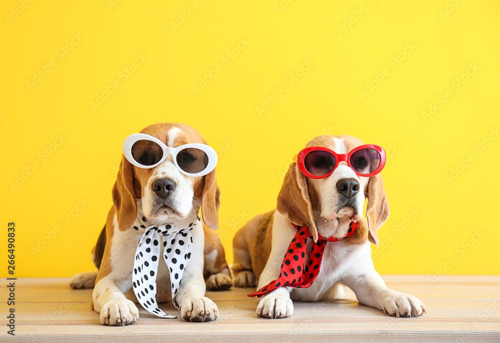 Fototapety, obrazy: Stylish cute dogs lying on table