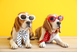 Fototapeta Zwierzęta - Stylish cute dogs lying on table