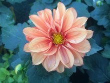 Dhalia Flower After The Rain
