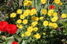 Yellow Flowers Of Leopard's Bane (Doronicum Orientale) And Red Tulips In Garden. General View Of A Group Of Flowering Plants