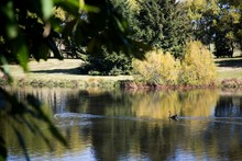 Black Swan And Coot Swimming O...
