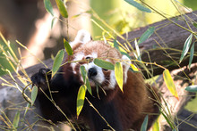 Red Panda On A Tree While Resting
