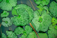 Group Of Lily Pads