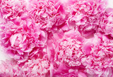Fototapeta Coffie - beautiful pink peony flower background