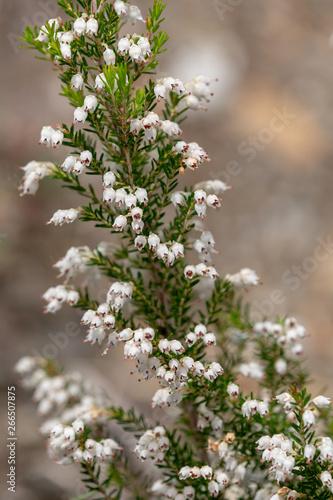 Macrophotographie de fleur sauvage - Erica arborea Canvas Print