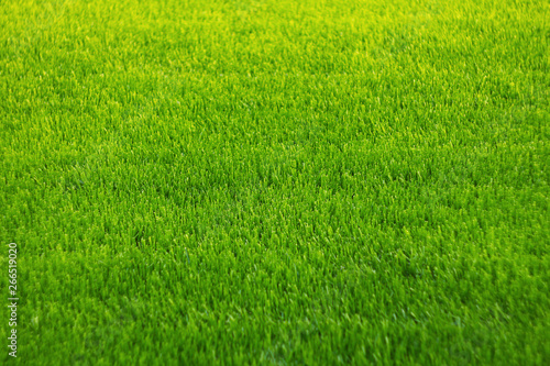 Cadres-photo bureau Herbe Background of green grass. Amazing grass texture. Green background.Park lawn texture.