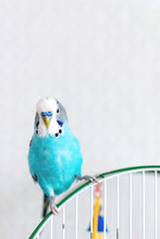 Blue Wavy Budgie Sitting On Th...