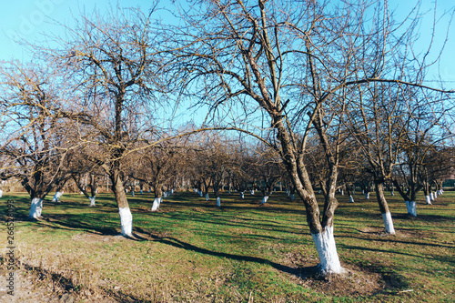 Fotografie, Obraz  spring apple garden without flowers and leaves