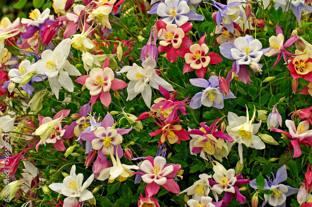 Aquilegia State Series in assorted colours in close up