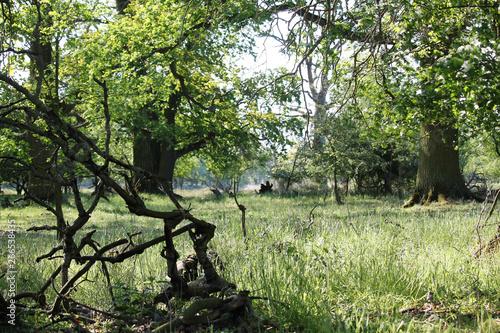 Hundred Years Old Oak Treeeadow
