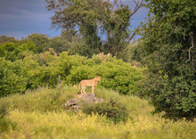 Young African Lion Standing On A Rock In The Chobe Nationalpark In Botswana