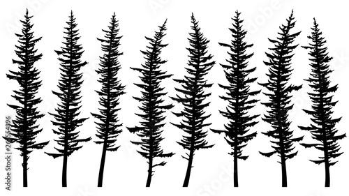 Silhouettes of tall spruce trees with rare branches. Tapéta, Fotótapéta