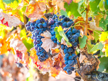 Bunches Of Red Grapes Growing In Setubal, Portugal.