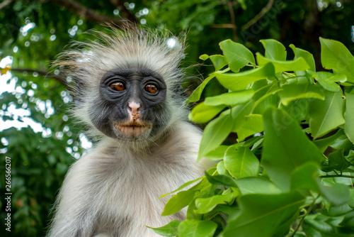 Poster Zanzibar Red Colobus monkey in a natural environment, Portrait,Zanzibar.