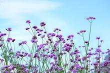 Verbena Bonariensis Flowers In...